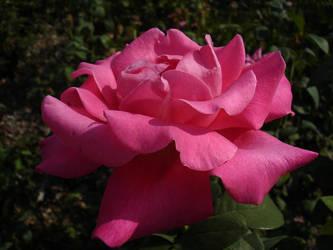 In Bloom by knoxiwalla