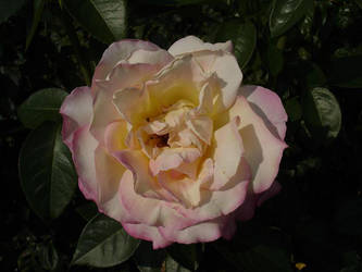 White Rose Dipped In Pink by knoxiwalla