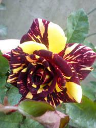 Una rosa inusual by Tsukitica