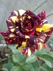 Rosas de la casa. by Tsukitica