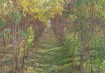 eucalyptus field by aksheus