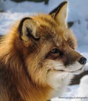 Fox IV. by Misfits13th