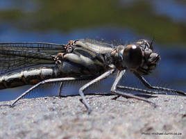 Damselfly IV by TheSoftCollision