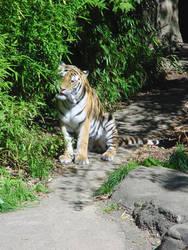 Tiger Eating Bamboo by Kaitrosebd