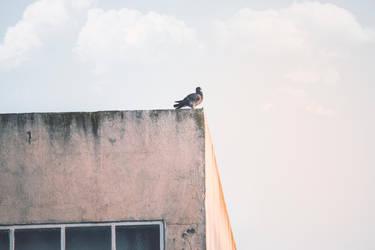 Pigeon by KhaledReese