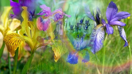 Waltz of the Iris by RebeccaTripp