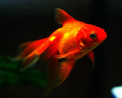 Goldfish by Suit24