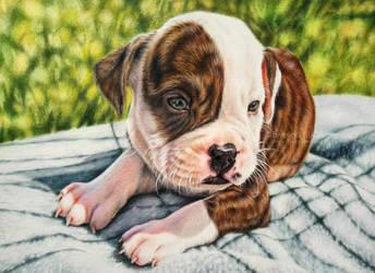 American Bulldog by Kot-Filemon