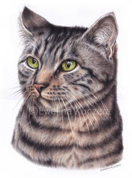 Cat - colored pencil portrait by Kot-Filemon