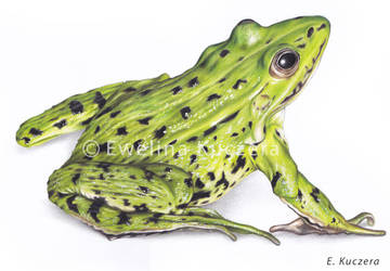 Frog Colored Pencil Drawing by Kot-Filemon