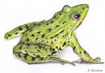 Frog Colored Pencil Drawing by Kot-Filemon
