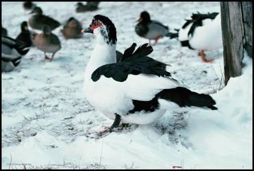 Muscovy Duck by DwayneF