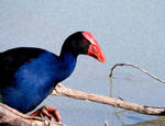 Purple Swamphen with Filter by Chezza932