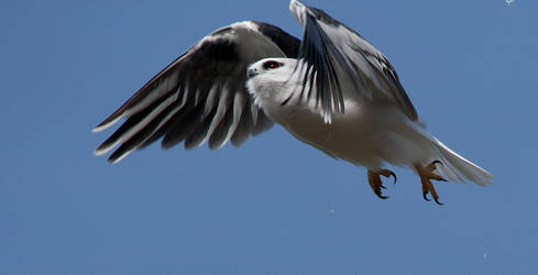Black-Shouldered Kite 2 by Chezza932