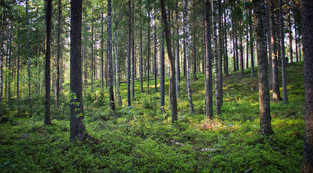 Forest of Finland by Hayine