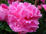 Pink Peony by Poser4U