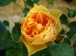 Orange Rose by Poser4U
