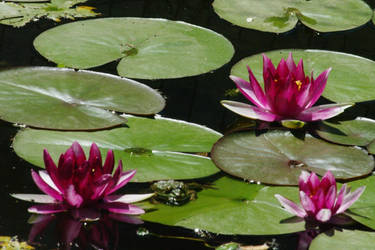 Water Lilies with Frog by PatGoltz