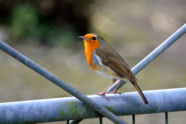 Entry barred Robin... by cricketumpire