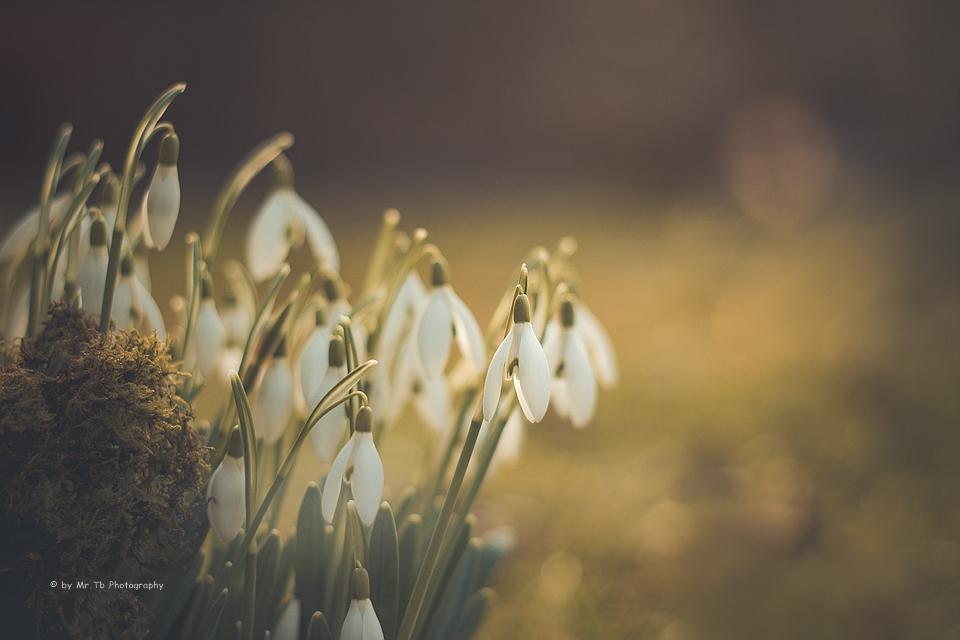Schneeglocke - Galanthus nivalis by Tb--Photography