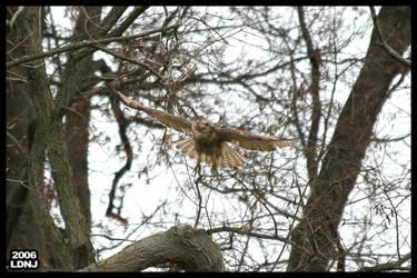 Hawk in Flight 1 by LarryDNJR