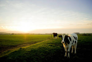 Moo Cow by Fredy1602
