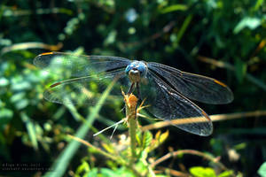 Dragonfly by xTernal7