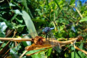 Dragonfly III by xTernal7