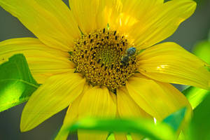 Bee, sunflower. by xTernal7