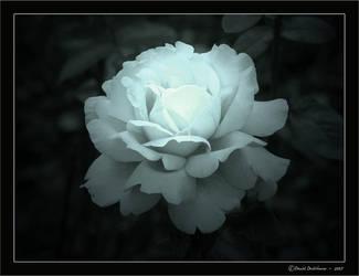 Evening Rose by Devlicharov