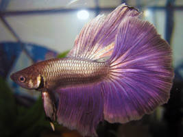 Halfmoon Betta Fish by Tahimik