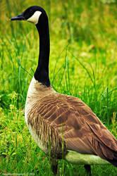 Majestic Goose by JDM4CHRIST