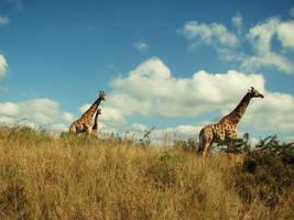 giraffes. by pickaredballoon