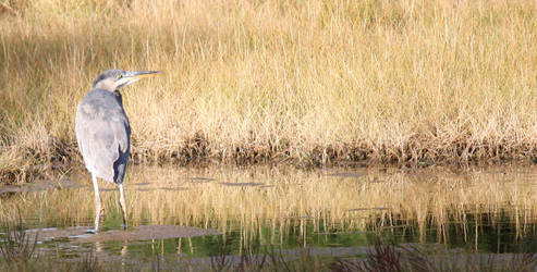GREAT BLUE HERON 092113 by zraclooc