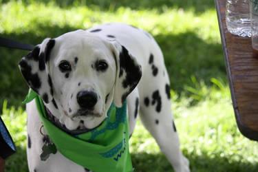 2015 MSPCA DOG WALK 5 by zraclooc