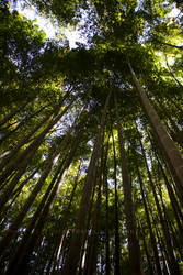 Bamboo Forest by writerinafoxhole