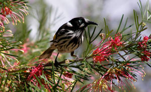 New Holland Honeyeater by SirTimid