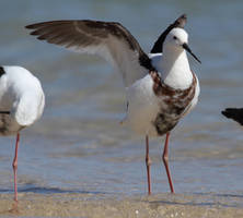 Banded Stilt by SirTimid