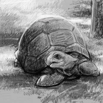 Tortoise by danidraws