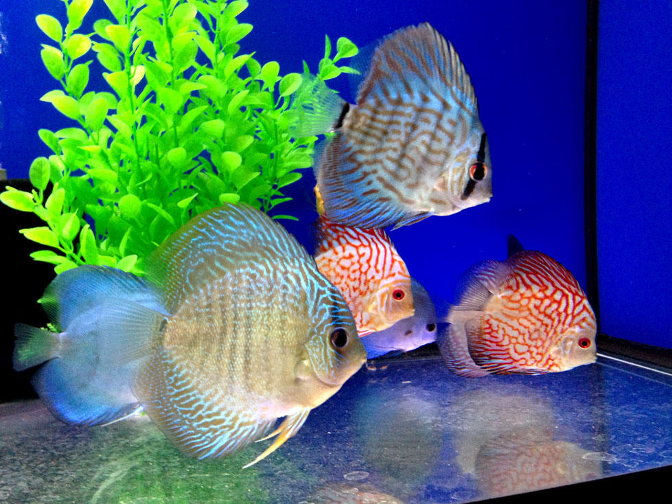 Discus fish by Ripplin