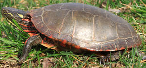 Painted Turtle Stock 6 of 11 by Lovely-DreamCatcher