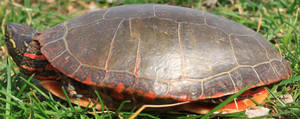 Painted Turtle Stock 10 of 11 by Lovely-DreamCatcher