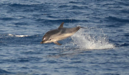 the first dolphin in wild i saw by sunnylil
