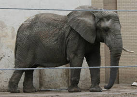 Gage Park Zoo 16 - Elephant by Falln-Stock