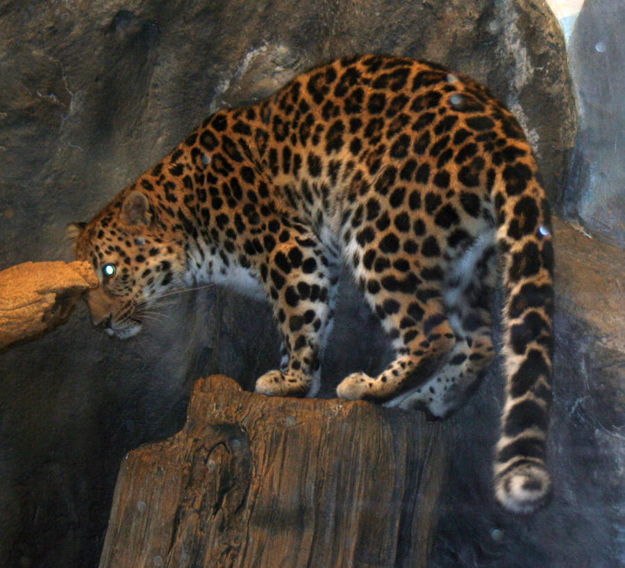 Denver Zoo 39 Leopard By Falln-Stock On DeviantArt