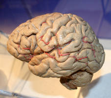 Denver Museum Anatomy Brain 235 by Falln-Stock