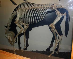 Denver Museum Horse Skeleton 405 by Falln-Stock