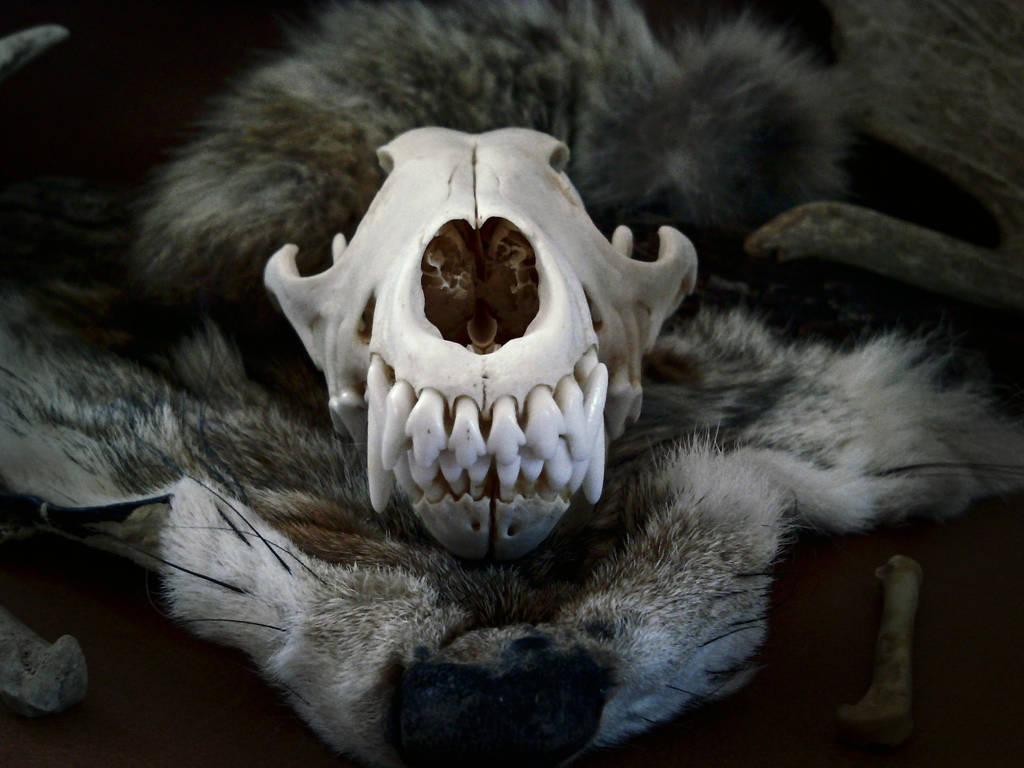 CoyoteSpirit3 by VoceDelBosco