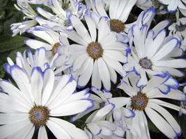 Les Fleurs de Blanc by paploothelearned