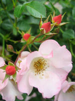 Wild Rose by paploothelearned